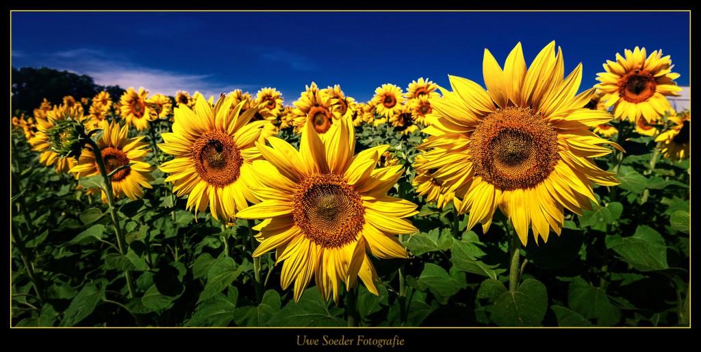 20140722_Sonnenblume_021