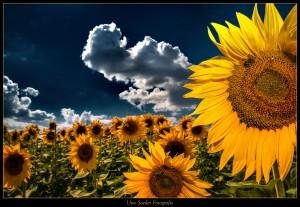 Sonnenblume, Sonnenblumenfeld bei Nechern