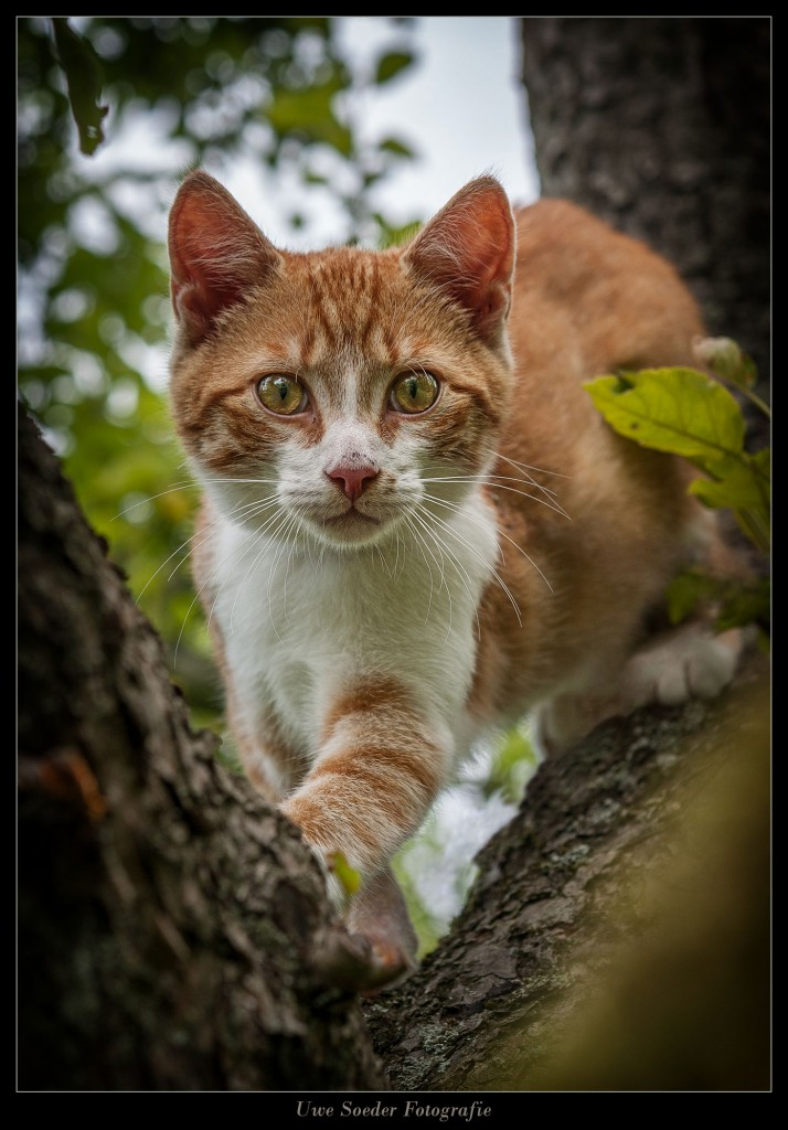 Katze, Kater